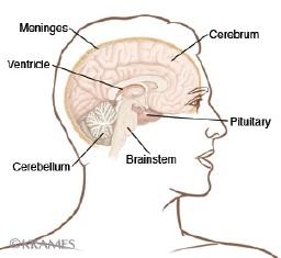 Illustration of the brain indicating the location of the pituitary gland