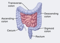 Illustration of the lower digestive tract.
