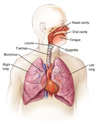 Illustration of the human respiratory system