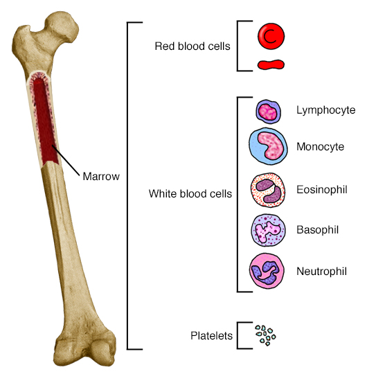 Femur with section cut out to show marrow. Callout shows blood cell types.