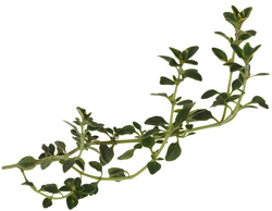 Sprig of thyme
