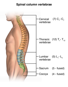Anatomy of the spinal column