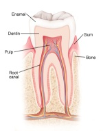 Cut away view of a tooth showing enamal, dentin, pulp, root canal, gum and bone.